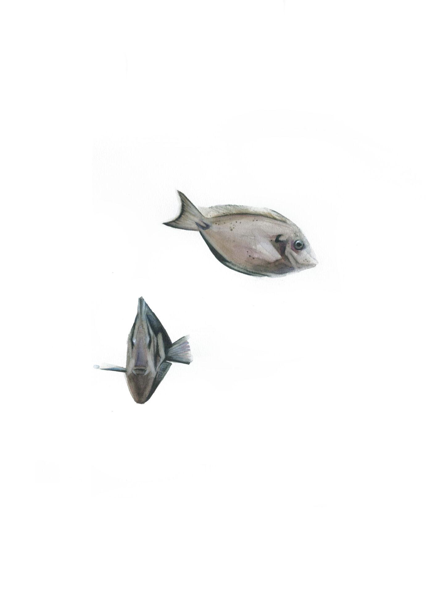 peces cirujano