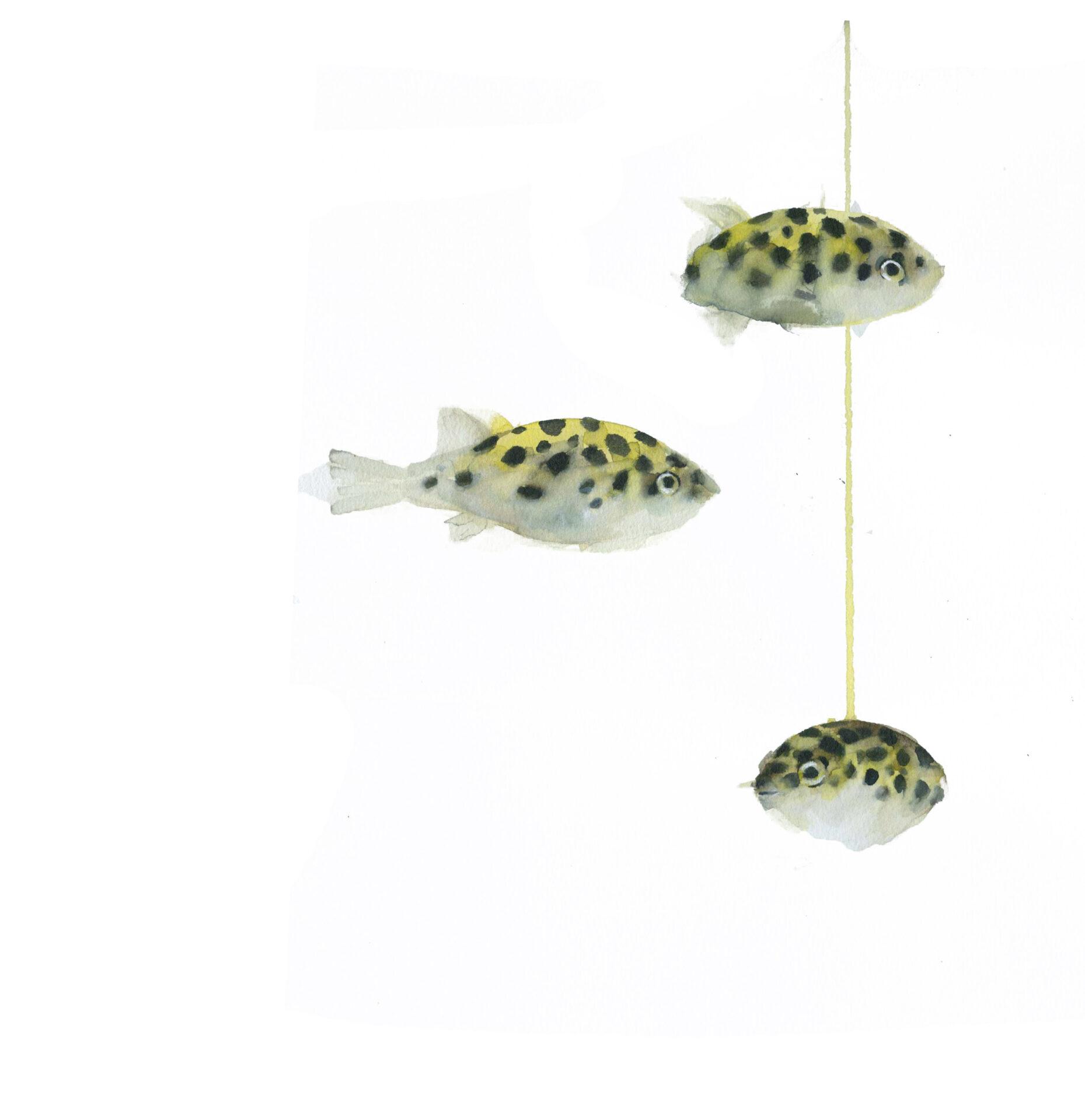 peces globo