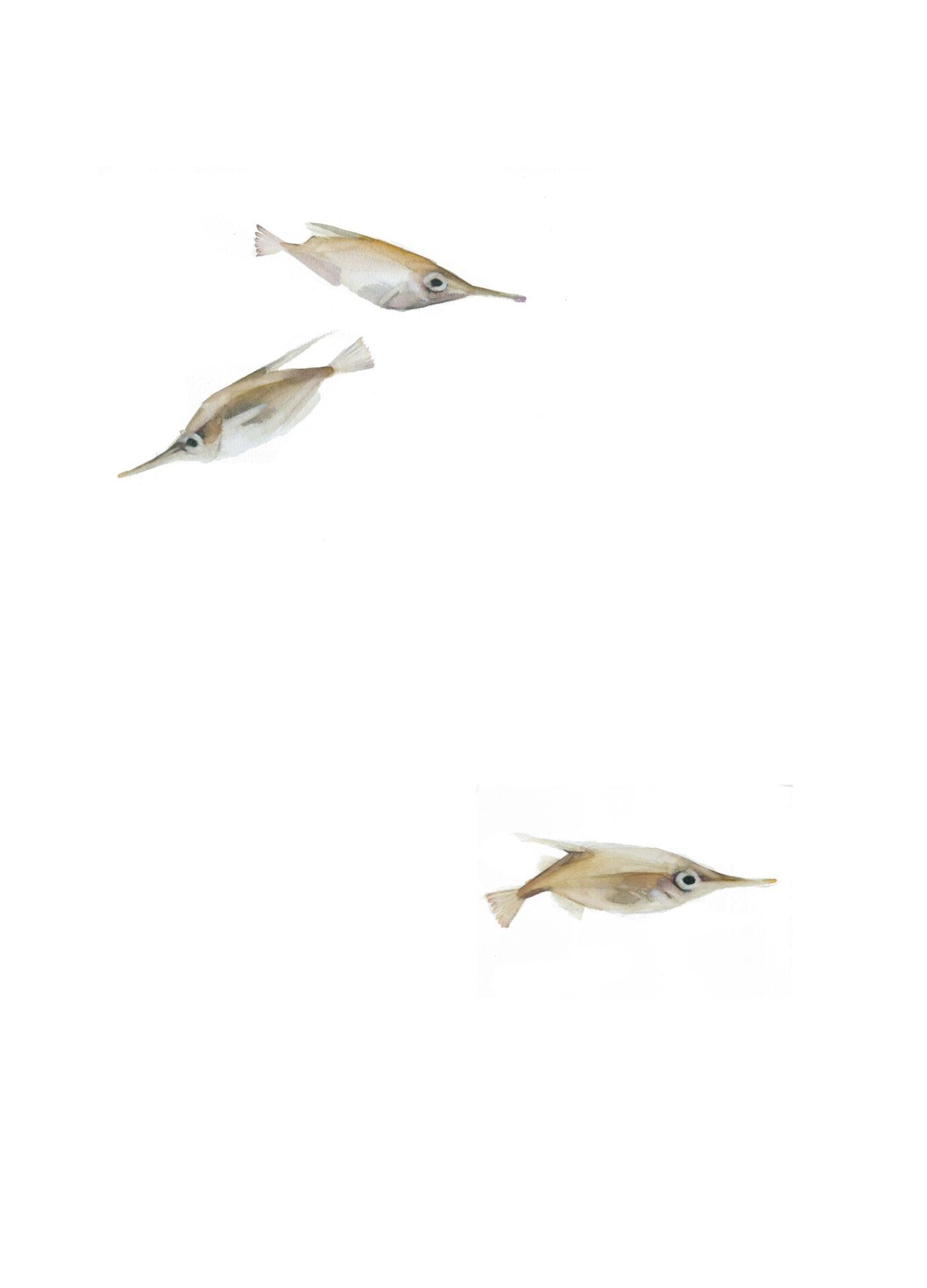 peces trompeta